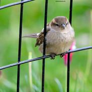 The Sparrow-Central Park, NYC