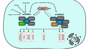 Systems Pharmacology of mTOR