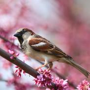 Sparrow-Central Park, NYC