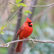 The Male Northern Cardinal-Central Park, NYC
