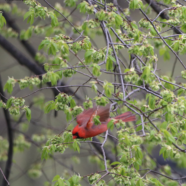 Male Cardinal-Central Park, NYC