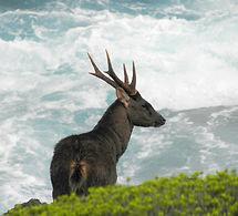 isaacs deer3.jpg