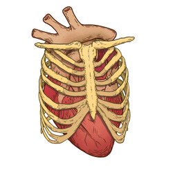 heart in ribcage