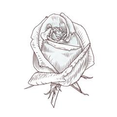 Early_Blue_Rose.jpg