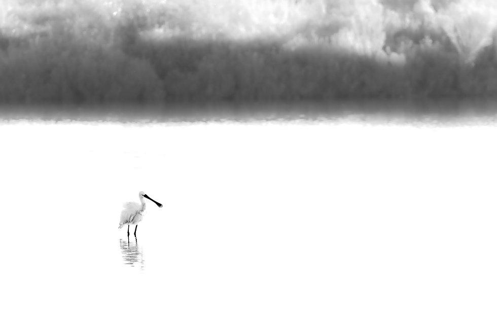 Photographie nature de Spatula, saptule, minimalisme, minimalism noir et blanc, bnw, Wildlife photographie
