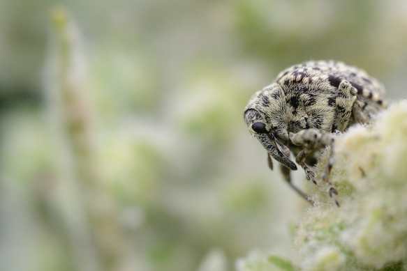 Taeniapion rufulum.jpg
