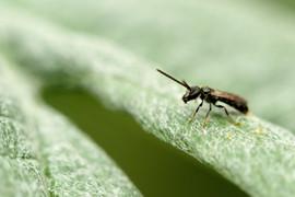 Lasioglossum calceatum.jpg
