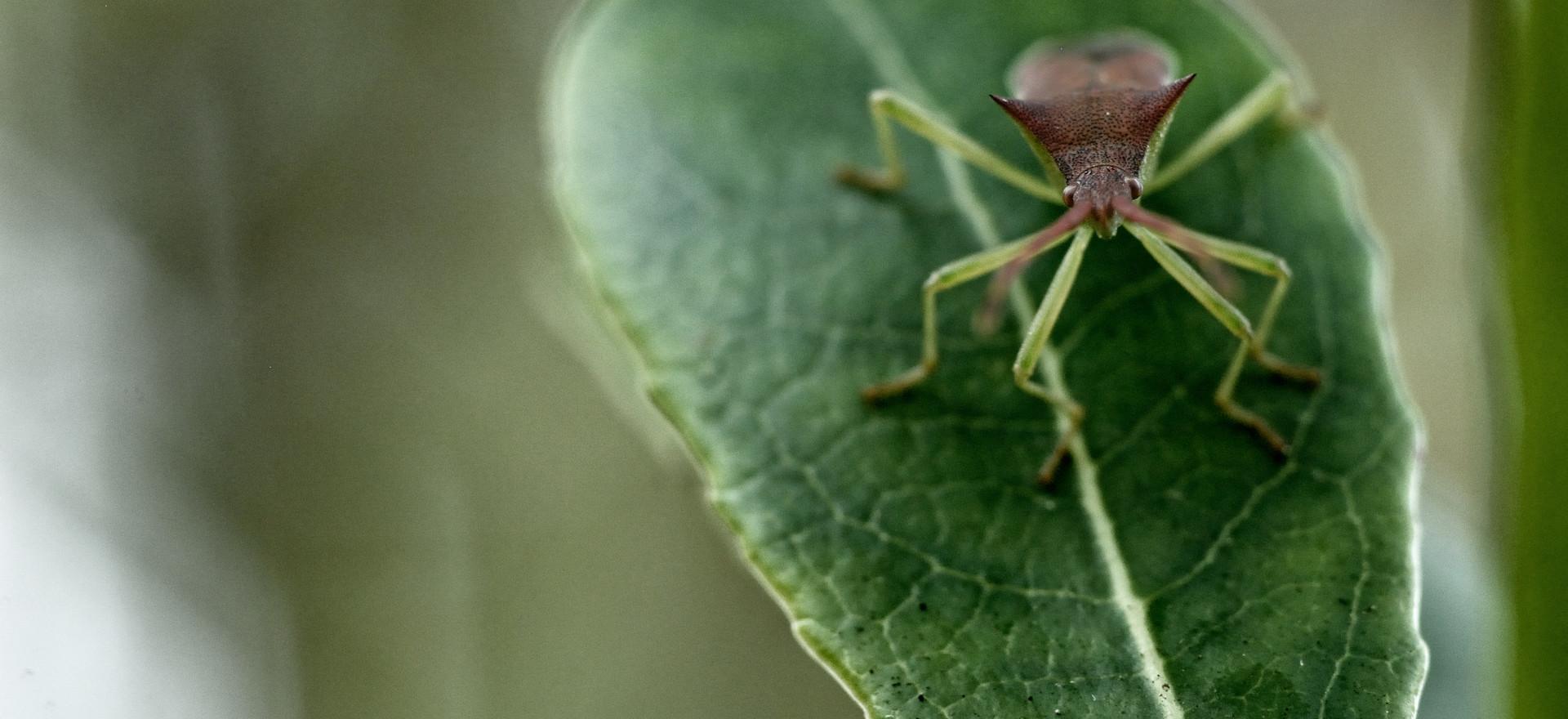 Gonocerus acuteangulatus.jpg