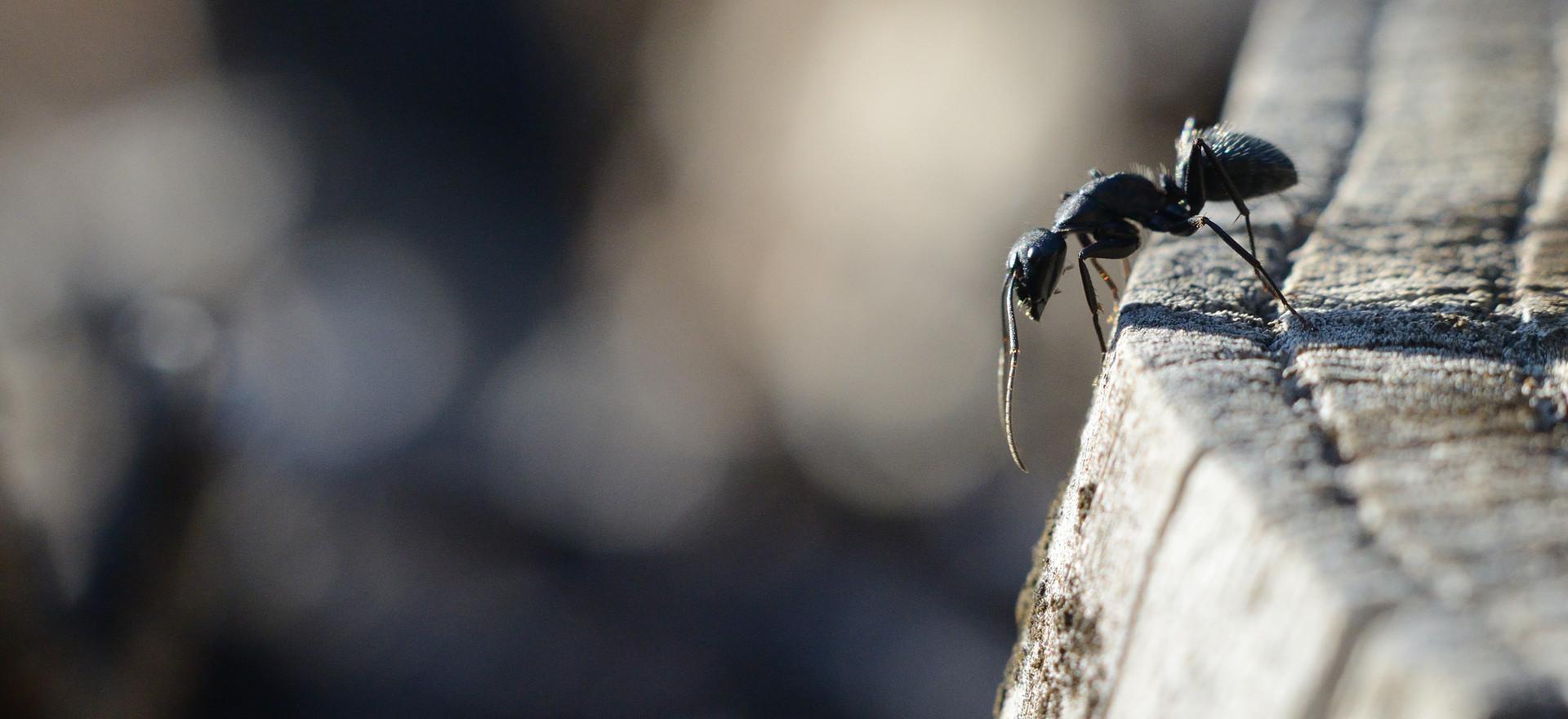 Fourmi - Camponotus aethiops
