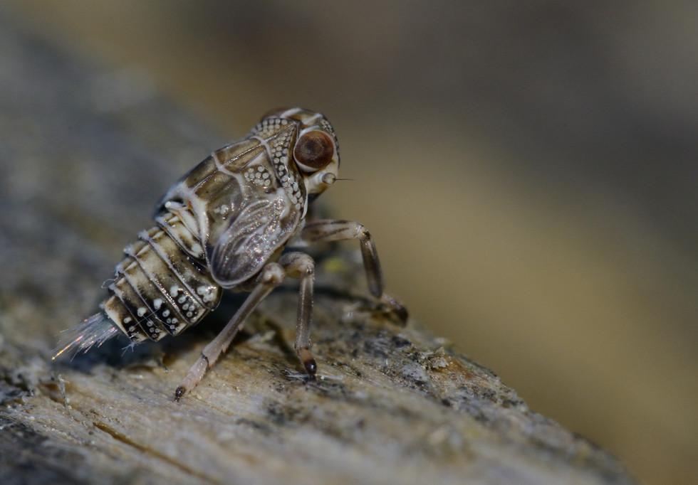 Cicadellidae Cicadelle