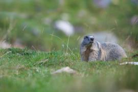 Marmotte.jpg