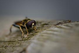 Syrphe - Didea fasciata,_.jpg