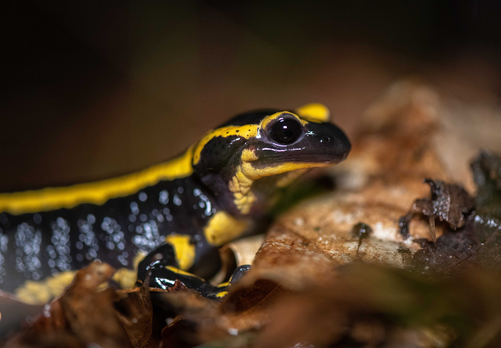 Salamandre Commune