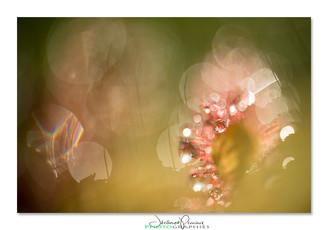 02-Drosera-pruniaux.jpg