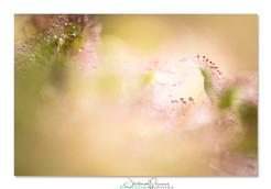 06-Drosera-pruniaux.jpg