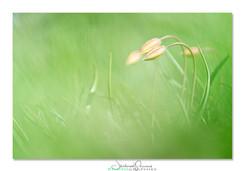 04-Tulipe_PruniauxJ.jpg
