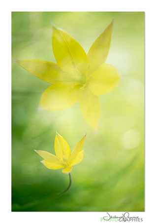 02-Tulipe_PruniauxJ.jpg