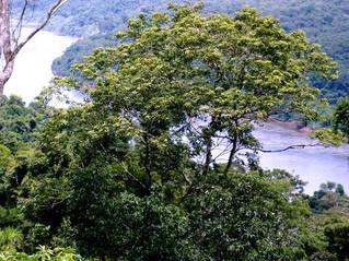 GUAYUBIRA: El Temperamento de la Madera