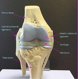 Knee labelled.jpg