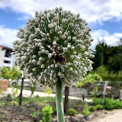 fleur oignon abeille potager partagé en résidence à Bordeaux.jpg