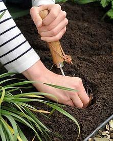 Lilium PlantingOptimized.jpg