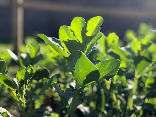 La culture de la fève