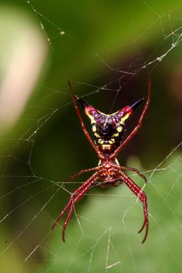 Devil Spider.jpg