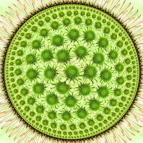 Circle Limit - Echinacea