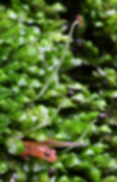 Baby salamander in fertile leafy liverworts