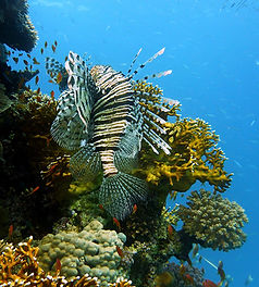 Lion Fish Hovering Ovr Coral Reef In The Red Sea Egypt