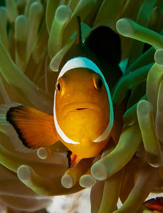 Clown Fish Peaking Out Of Anemone In Egyptian Red Sea