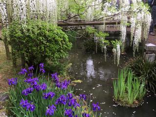 春日大社 萬葉植物園の藤