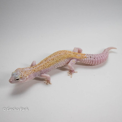 White and Yellow Mack Snow Eclipes  66% het tremper RTB