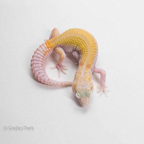 White and Yellow Mack Snow Raptor 66% het blizzard 50% het Murphy patternless