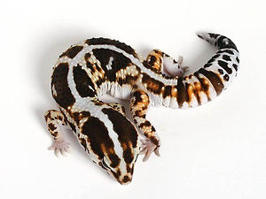 African Fat Tail Gecko