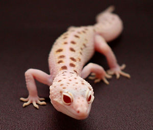 Leopard Geckos for sale UK
