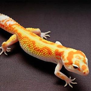 Buy Leopard Geckos Online
