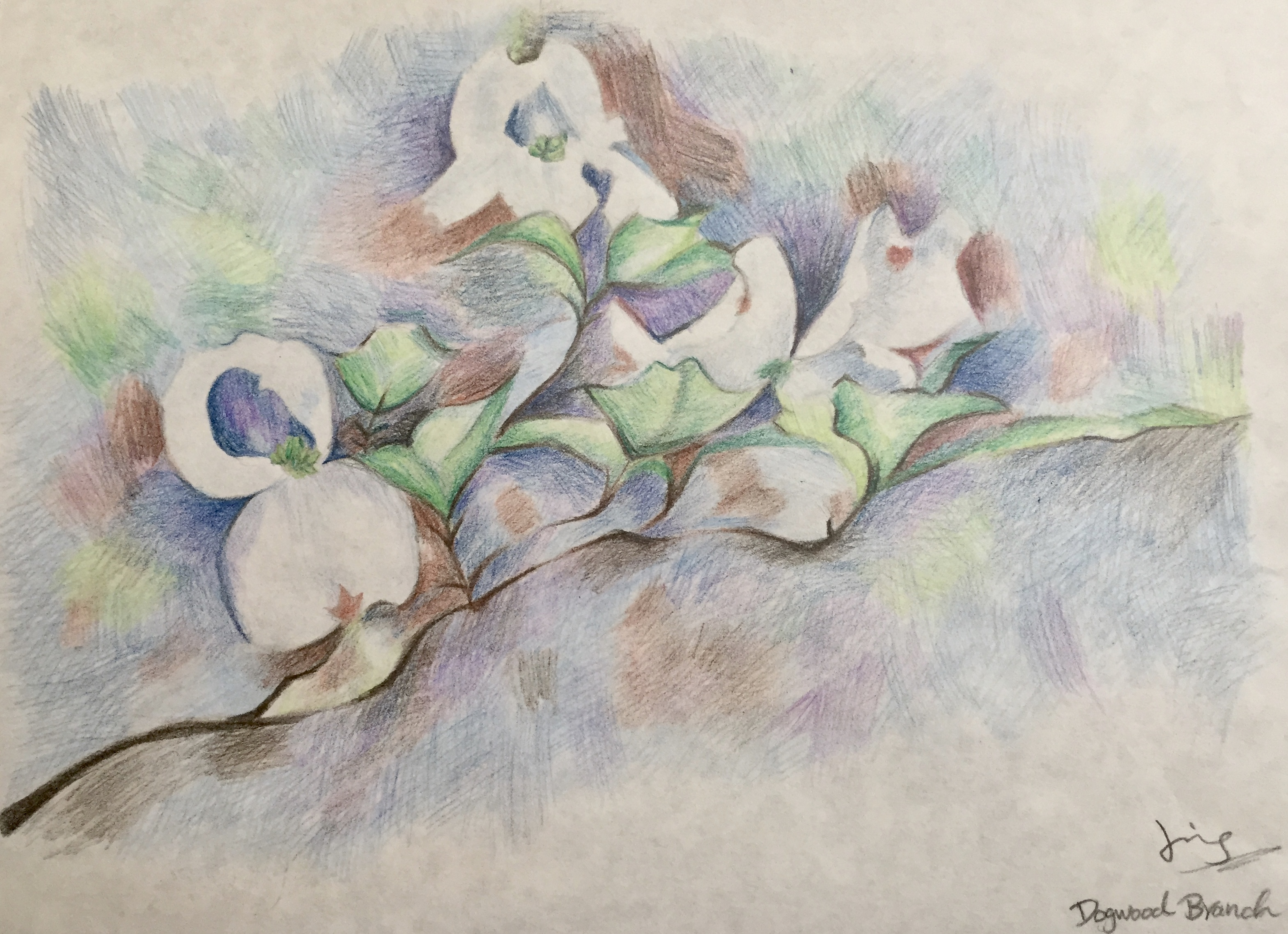 colour pencil drawing of dogwood flowers