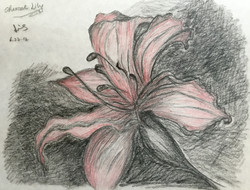 charcoal & colour pencil drawing of a Lily
