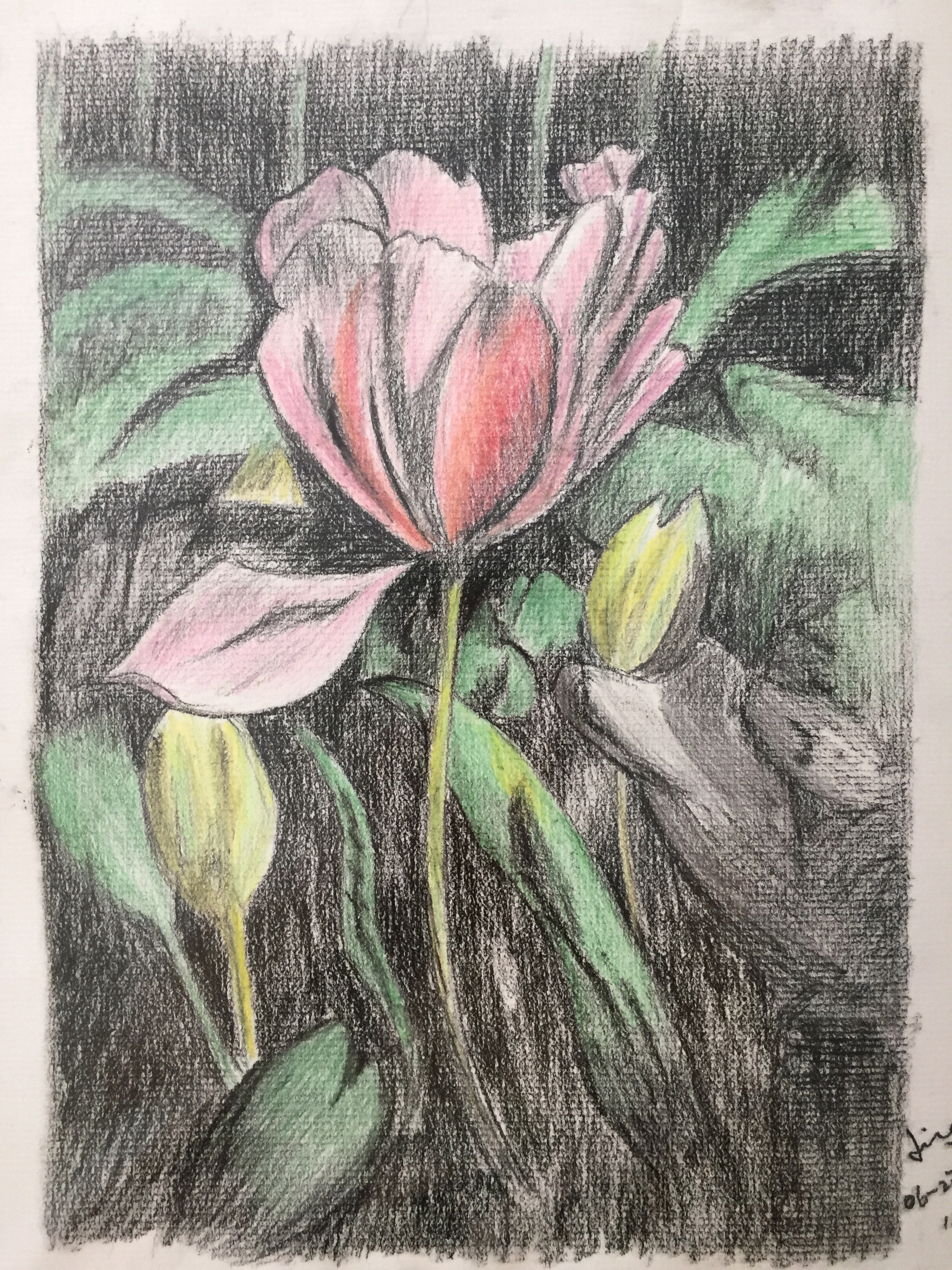 charcoal & colour pencil drawing of tulips