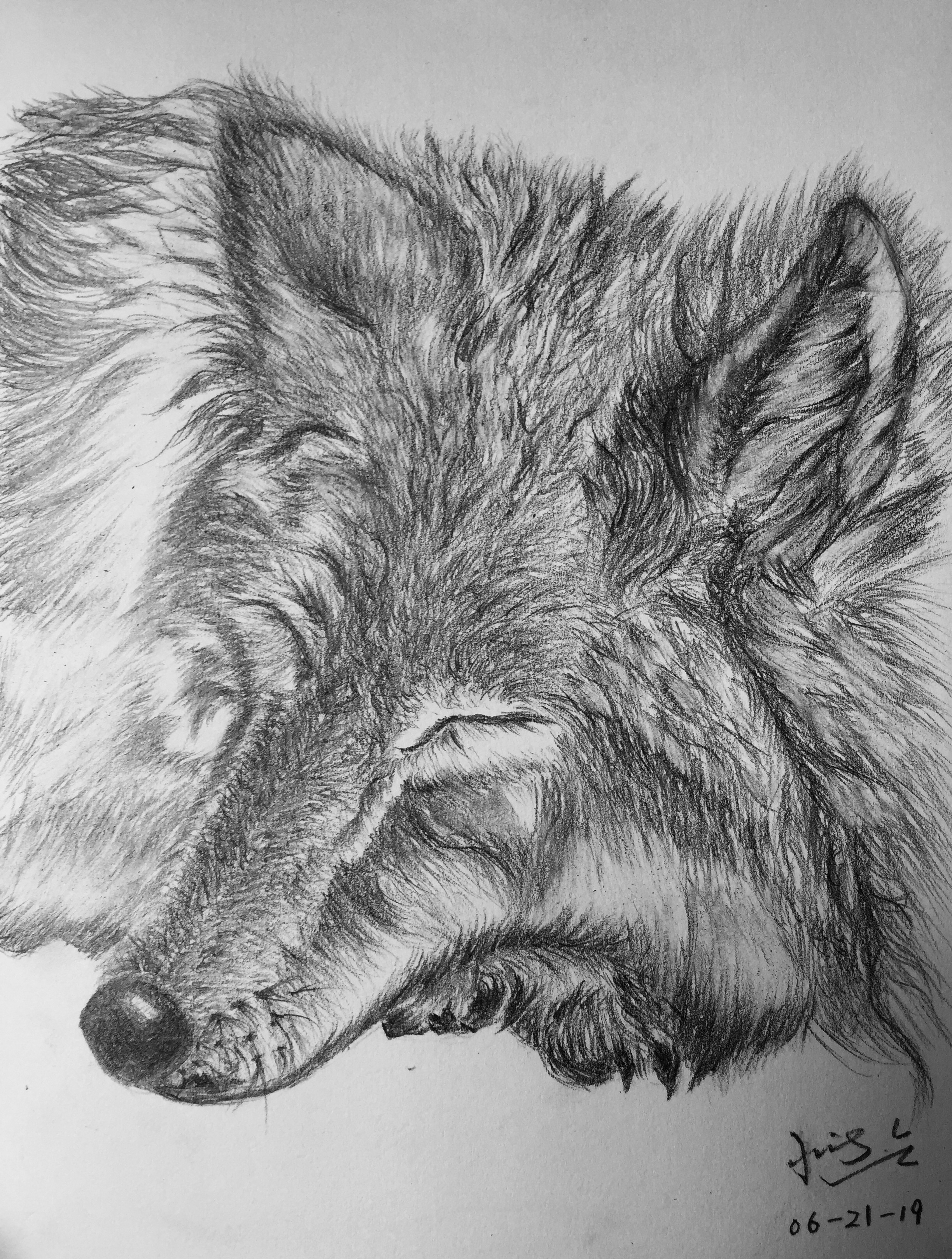 pencil drawing of sleeping wolf