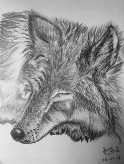 pencil drawing of sleeping wolf