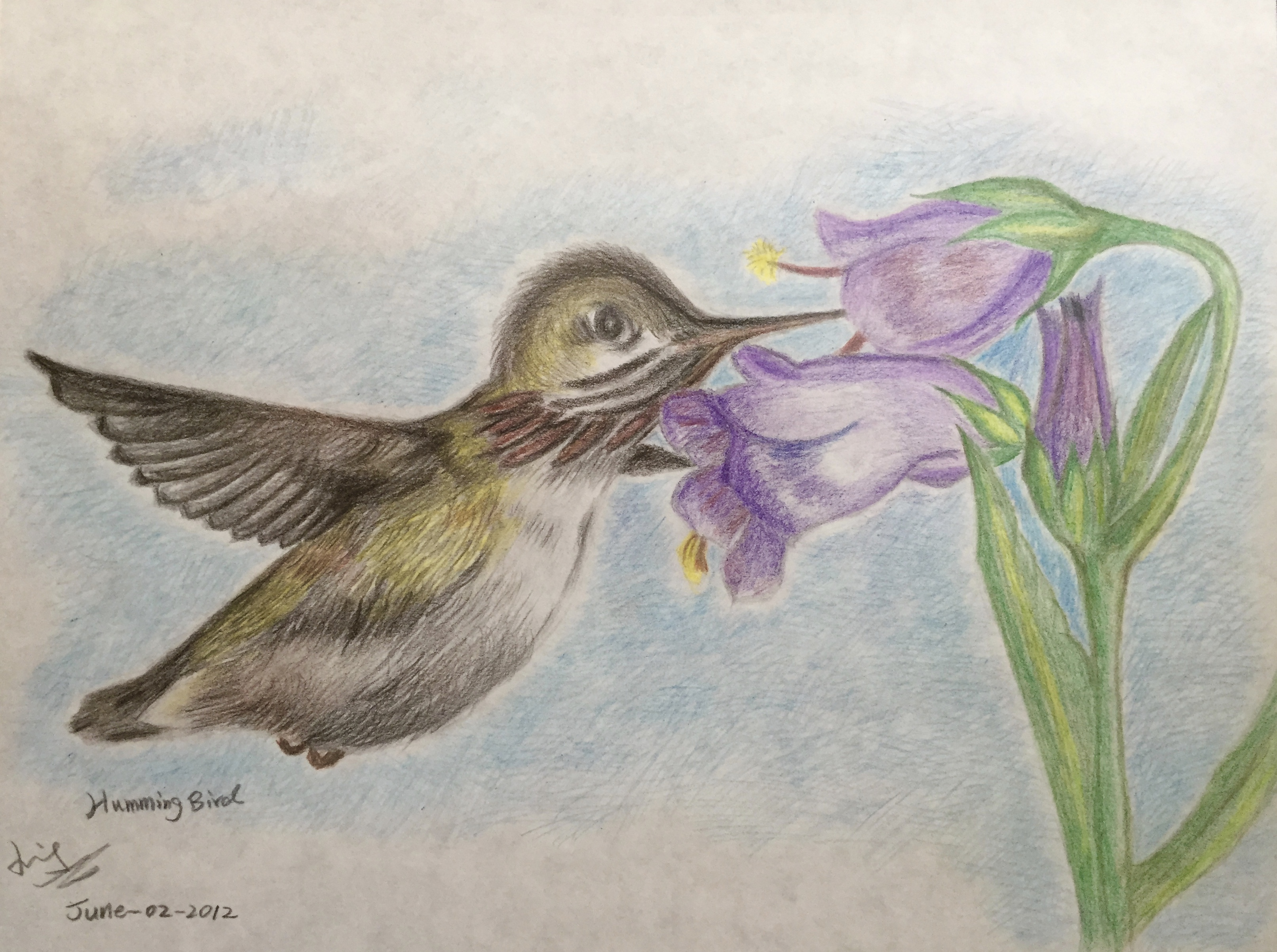 colour pencil drawing of a humming bird