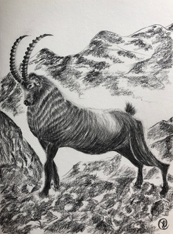 A Ibex Mountain goat