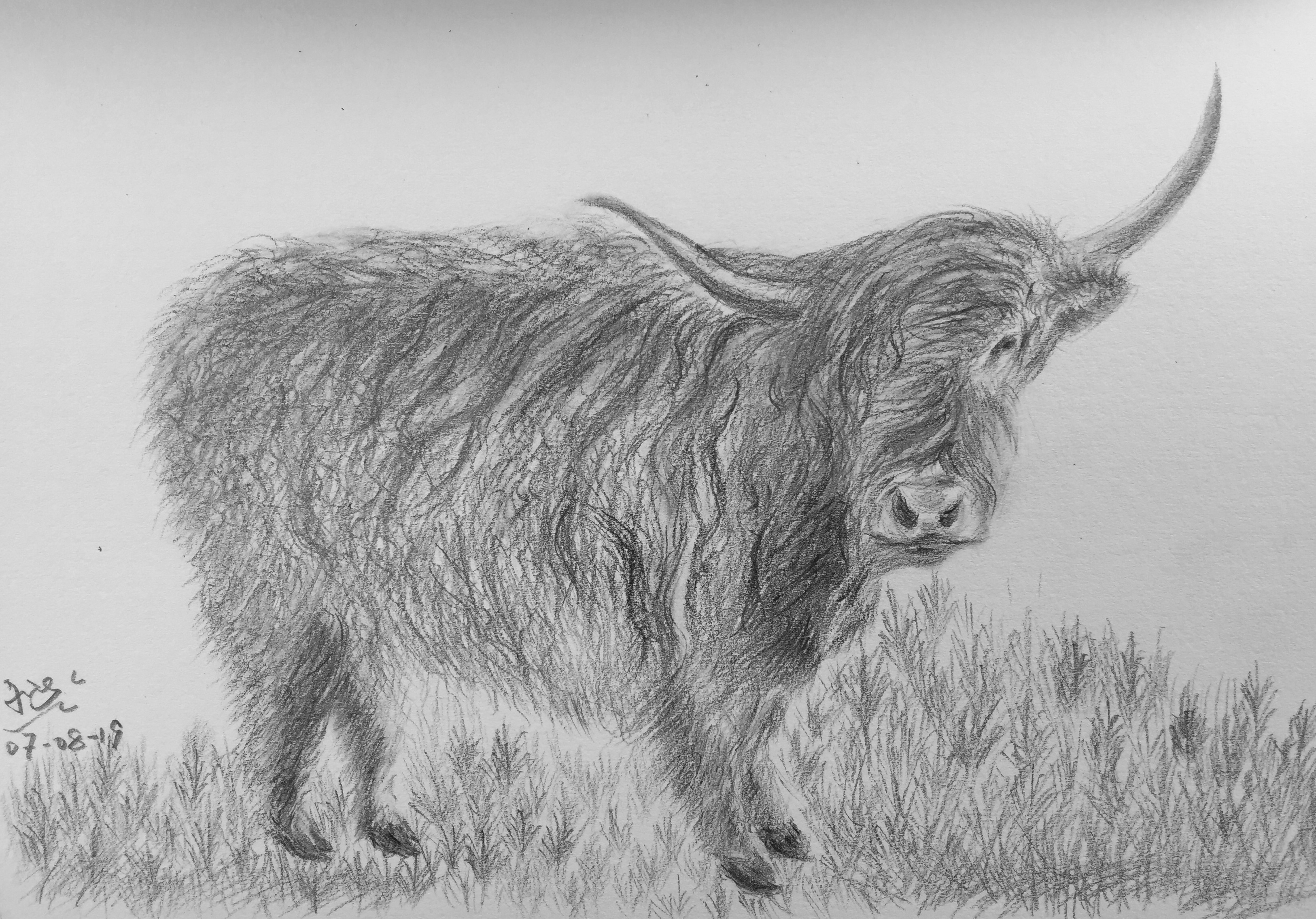 pencil drawing of a Scottish Angus