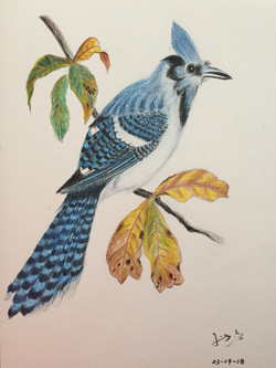 colour pencil of a blue jay in fall
