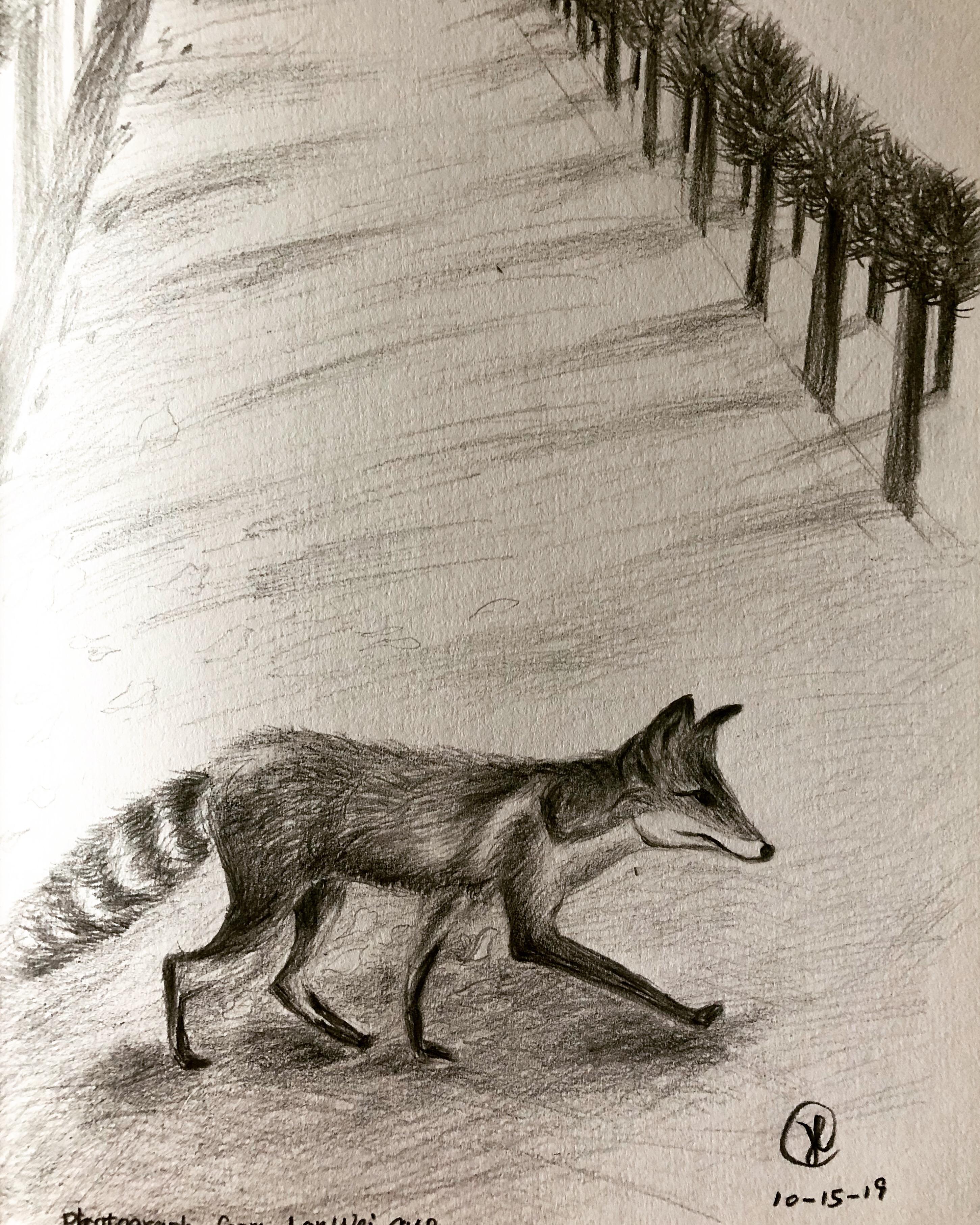 A fox across street