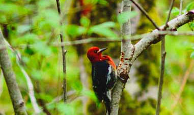 Woodpecker in the woods