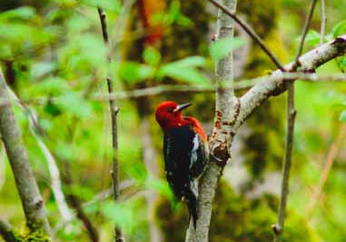 Woodpecker in the woods