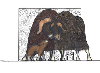 musk ox family